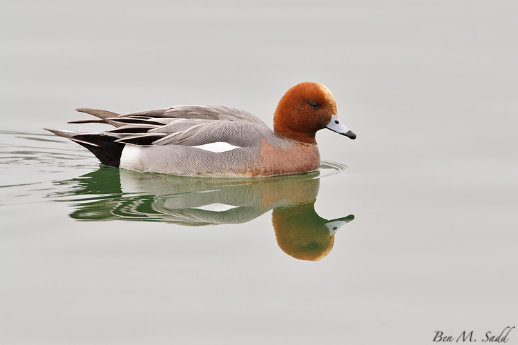 Wigeon: Switzerland
